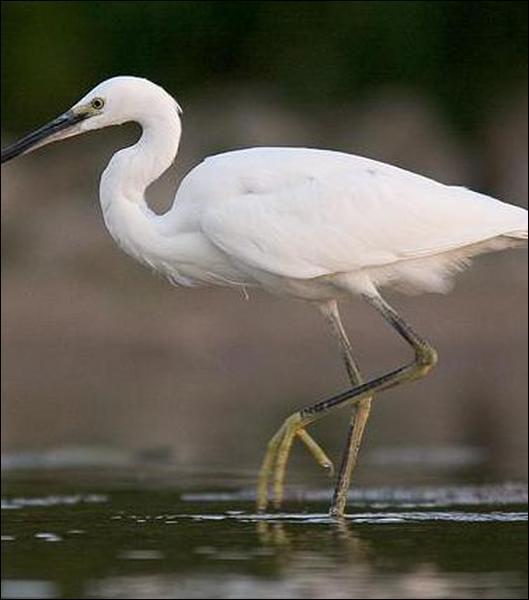 """Une """"aigrette"""" porte, au moment de la reproduction, de longues plumes, recherchées autrefois pour la parure."""