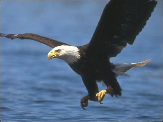"""Les """"aigles"""" sont de grands rapaces nocturnes de l'hémisphère sud."""