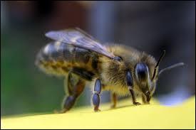 """Quel insecte est appelé """"mouche à miel"""" ?"""