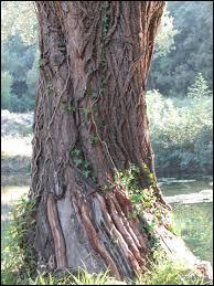 Le tronc est la partie principale d'un arbre. C'est aussi dans une église...