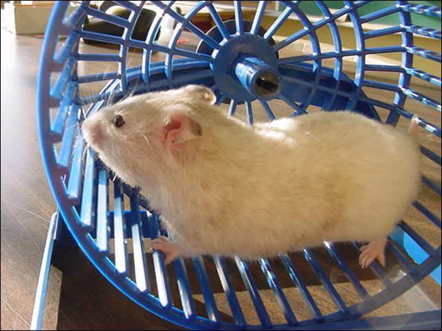 Ce hamster utilise sa roue d'exercice, surtout la nuit.