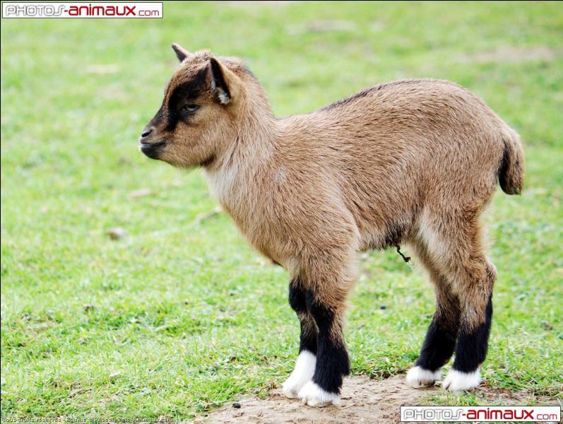 Cet animal est le petit de la chèvre.