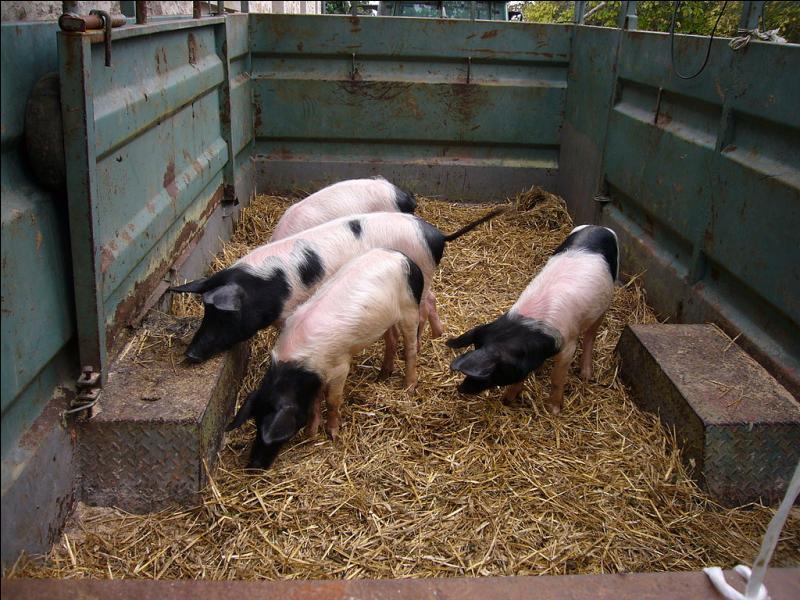 Ce ne sont pas des porcs.