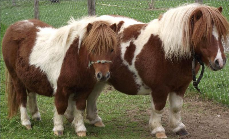 Ces poneys font partie de la famille des équidés.