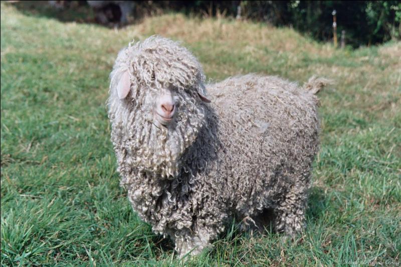 Cette belle chèvre angora vous regarde.
