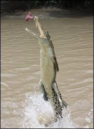 Que se passe-t-il de particulier lorsque le crocodile dévore une proie ?