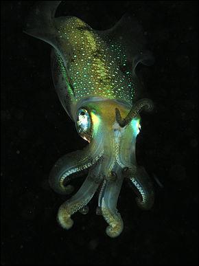 Sous quel autre nom connaît-on également le calmar ou calamar ?