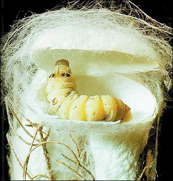 De quoi le ver à soie se nourrit-il exclusivement ?