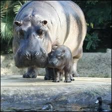 Combien de doigts l'hippopotame possède-t-il à chaque pied ?