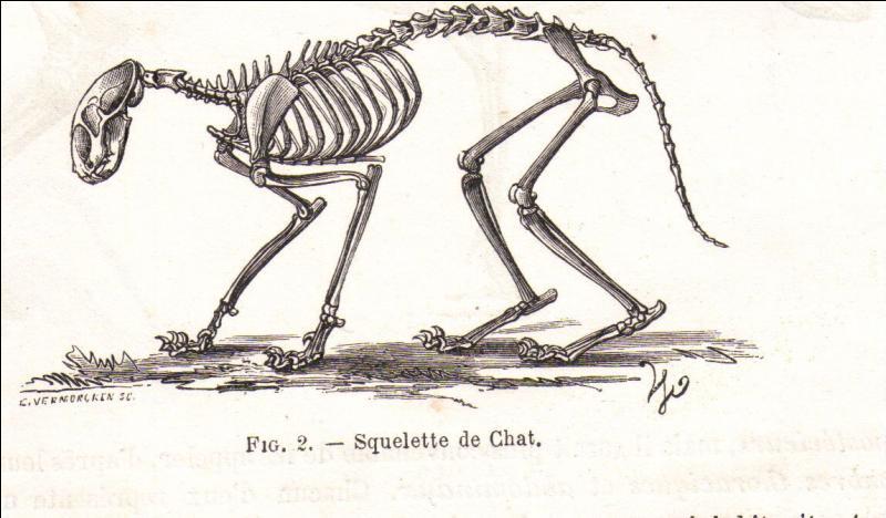 Le squelette du chat est composé de 150 os.