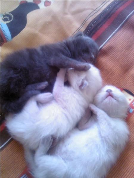 La gestation des chatons durent environ une soixantaine de jours.