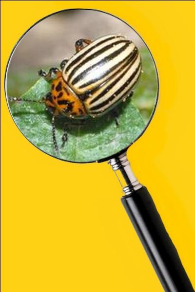 Il dévore les feuilles des plants, et, de ce fait, nuit considérablement au développement de la patate. Quel est le nom de cet insecte ?