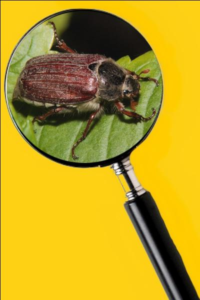 Ils s'enfouissent dans le sol l'automne venu pour y passer l'hiver. Puis, au printemps ils s'attaquent aux racines des plantes. Les jardins sont dévastés au grand désespoir des cultivateurs. Quel est le nom de cet insecte ?