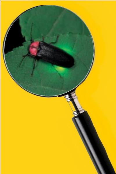 La lumière que le mâle émet est plus brillante que celle de la femelle. Quel est le nom de cet insecte ?