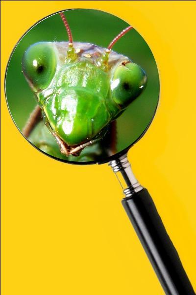On a émis le fait que la femelle dévore le mâle après l'accouplement, mais cela reste à prouver. Quel est le nom de cet insecte ?