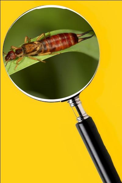 Il possède des pinces très dures mais il est inoffensif pour les humains. Quel est le nom de cet insecte ?