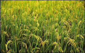 Quelle céréale constitue l'aliment de base des Malgaches ?
