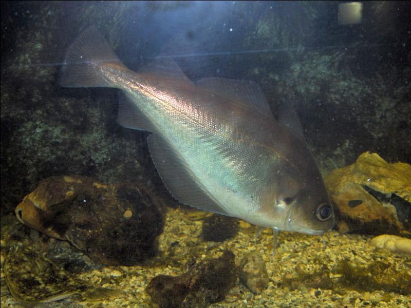 Poisson marin de la famille des gadidés, habitant les mers peu profondes de l'Atlantique du nord-est :