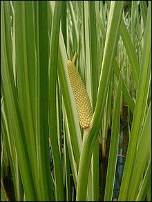 Roseau aromatique ou jonc odorant, cette plante est...