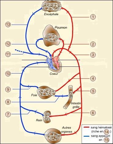 La veine cave transporte le sang du cœur vers tout le système sanguin du corps humain.