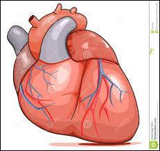 Le sac protecteur du cœur (péricarde) est à double paroi.