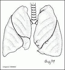 Les échanges gazeux entre l'air et le sang ont lieu dans nos poumons plus exactement dans les bronchioles.