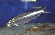 La sardine est un poisson que l'on mange. C'est aussi...