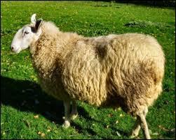 Un mouton c'est un animal de la famille des ovidés. C'est aussi...