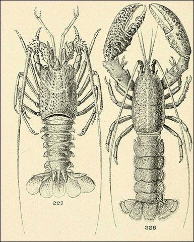 Où est le homard, où est la langouste ?