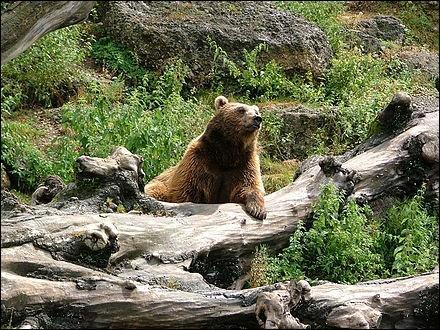 Quel ours vit en Europe ?