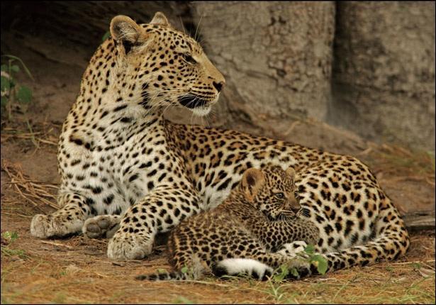 Observez les taches de cet animal avec son petit. Quel félin reconnaissez-vous ?