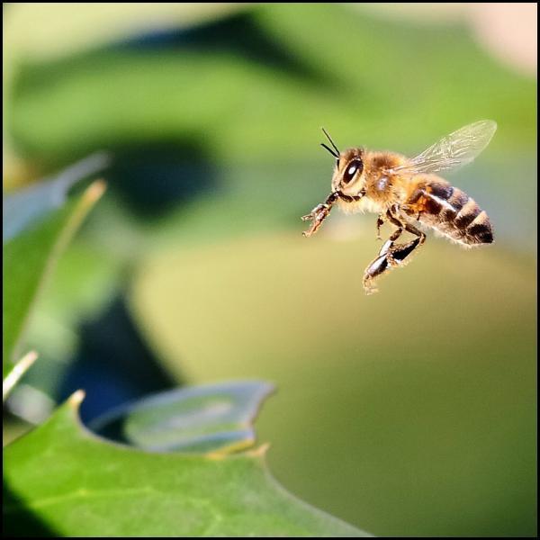 Si vous vous faites piquer par cet insecte, son dard restera enfoncé dans votre peau. Il s'agit…