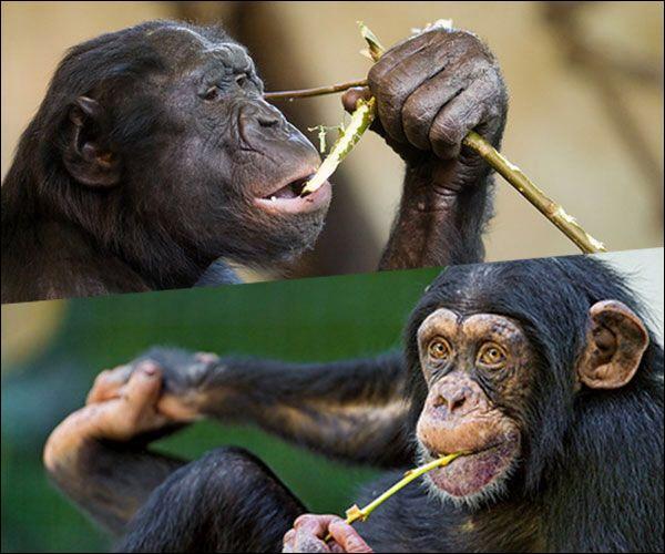 Où est le bonobo, où est le chimpanzé ?