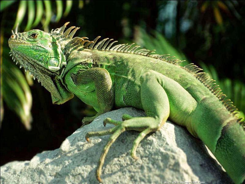 Quel est ce magnifique reptile ?