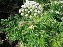 Quelle est cette plante réputée pour éloigner les sortilèges et augmenter l'endurance ?