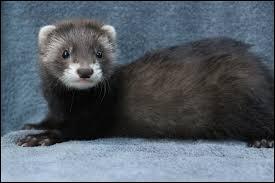 Animal parfois utilisé pour la chasse aux rongeurs près des habitations, il s'agit d'une belette.