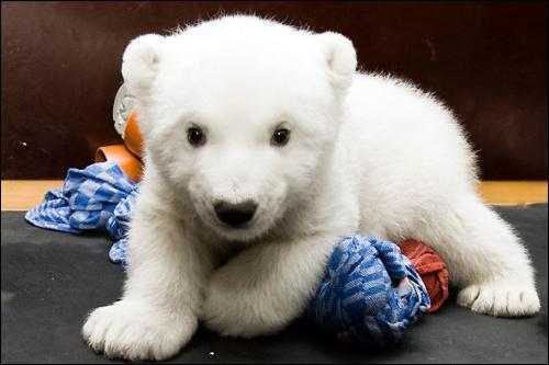 Certaines peluches sont très ressemblantes, celle de la photo imite parfaitement un ourson polaire !