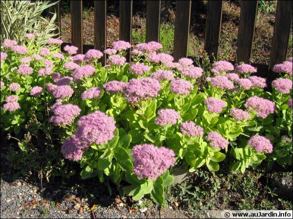 Cette plante très résistante aime le soleil. Elle fait partie de celles dites grasses. Quel est le nom ?