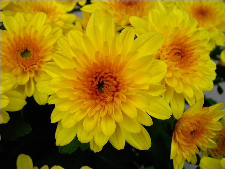 Quel autre nom le chrysanthème peut-il porter ?