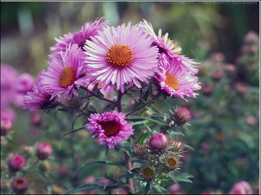 Elles aiment le soleil et ce sont des fleurs rustiques qui demandent vraiment peu de soins. Quel est leur nom ?