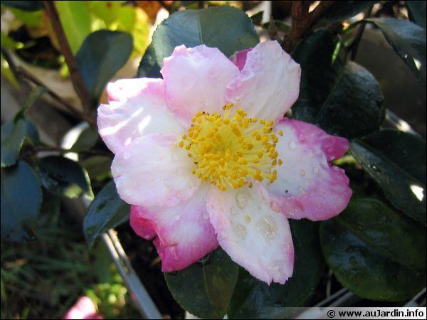 Quel nom porte cette plante fleurissant de septembre à décembre ?