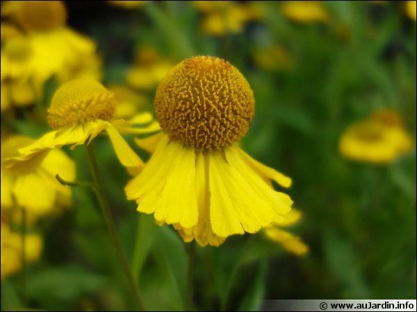 Le soleil de ces fleurs illuminera vos jardins. Comment les nomme-t-on ?