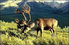 Comment appelle-t-on les rennes de l'Amérique du Nord ?