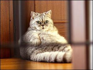 Deux gros chats mâles se battent pour les beaux yeux d'une femelle. Ce sont...