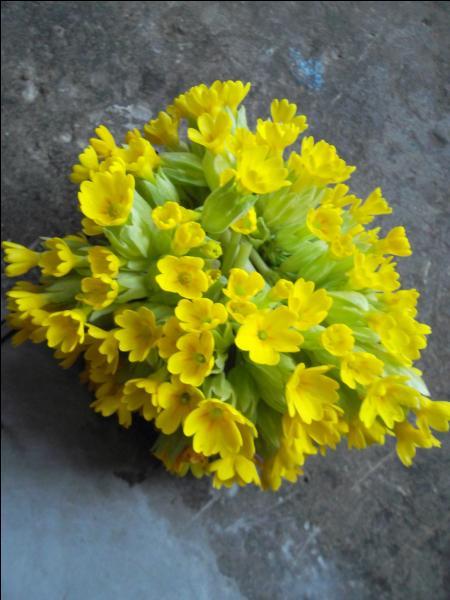 Oiseaux, plantes à fleurs jaunes ou horloges, ils portent tous le même nom. Lequel ?