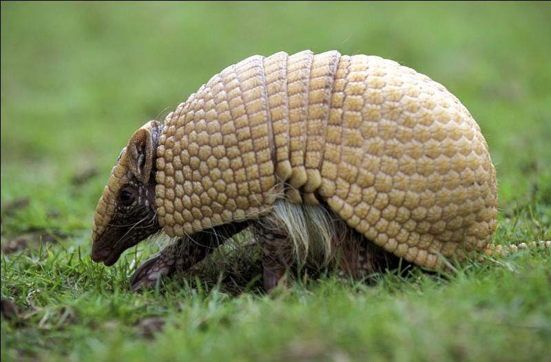 Ces mammifères d'Amérique tropicale, couverts de plaques cornées articulées, peuvent se rouler en boule. Comment s'appellent-ils ?