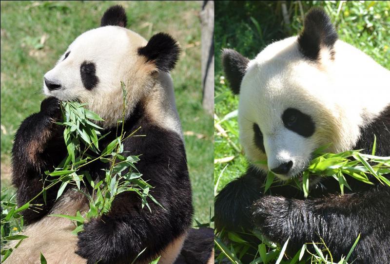 Un couple a été accueilli au zoo de Beauval, en France.