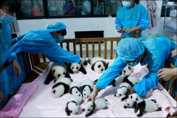 En Chine, il existe un centre d'élevage de cet animal.