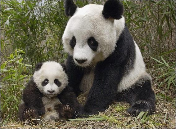 La mère peut donner naissance à 4 ou 5 petits par portée, une fois par an.