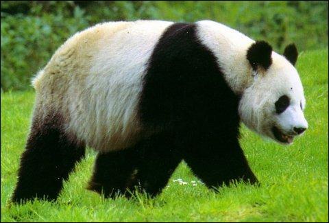 Cet animal est un panda géant.